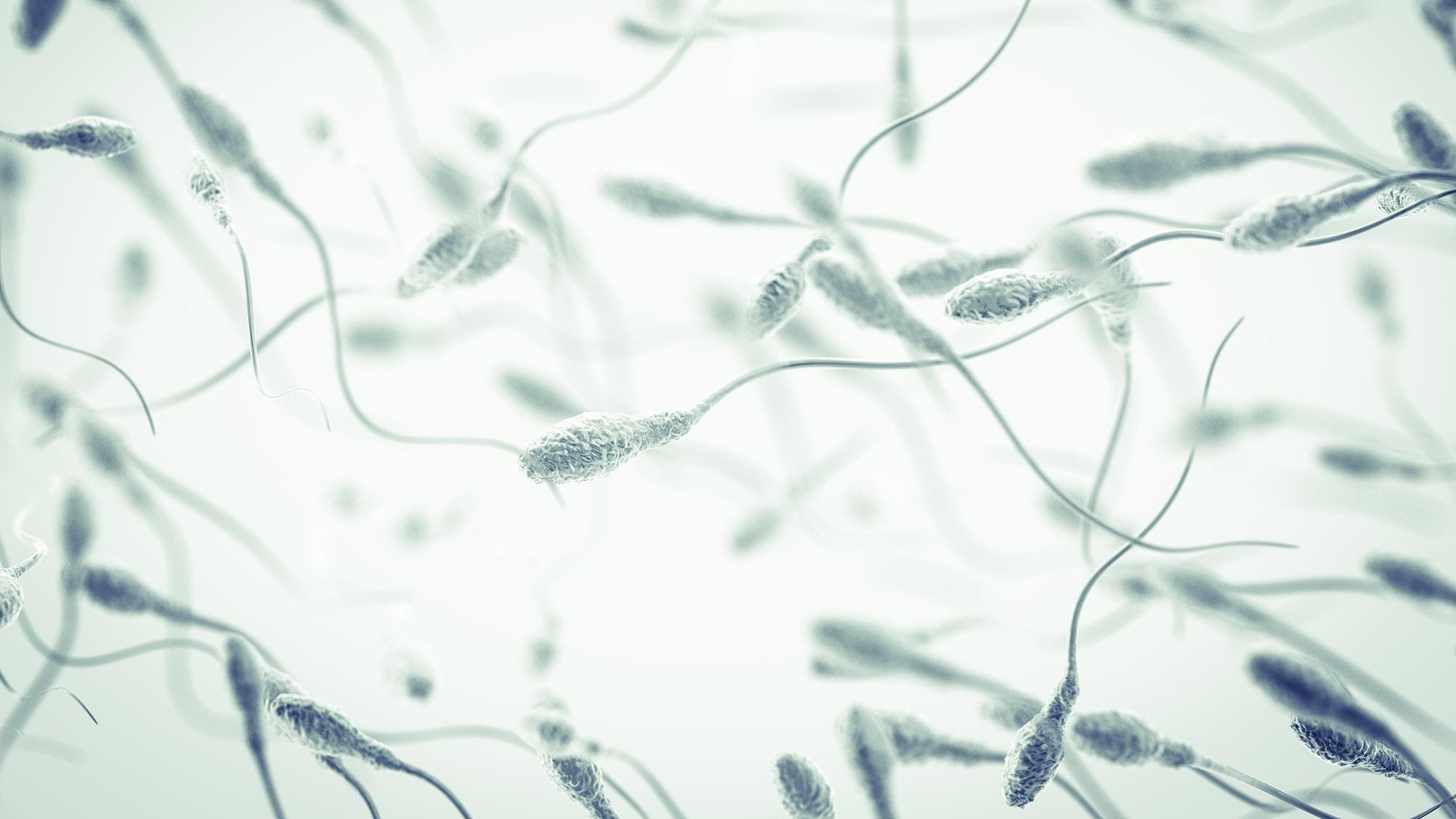 wo werden die spermien gebildet